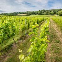 Organic wine in field